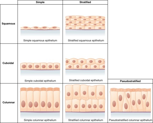 small resolution of this figure is a table showing the appearance of squamous cuboidal and columnar epithelial tissues