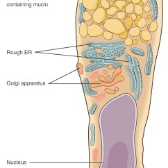 Stratified Columnar Epithelium Diagram Star Delta Wiring Forward Reverse 4 2 Epithelial Tissue Anatomy And Physiology This Illustration Shows A Of Goblet Cell The Is Shaped Roughly
