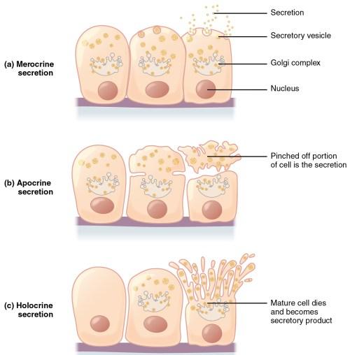 small resolution of these three diagrams show the three modes of secretion all three diagrams show three orange