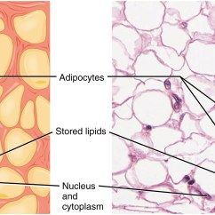 Areolar Connective Tissue Diagram Yellowstone Volcano 4 3 Supports And Protects Anatomy Physiology Image A Shows Collection Of Yellow Adipocytes That Do Not Have Consistent Shape Or
