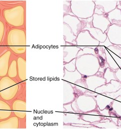 image a shows a collection of yellow adipocytes that do not have a consistent shape or figure 2  [ 2180 x 875 Pixel ]