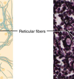 this figure shows reticular tissue alongside a micrograph the diagram shows a series of small [ 1992 x 746 Pixel ]