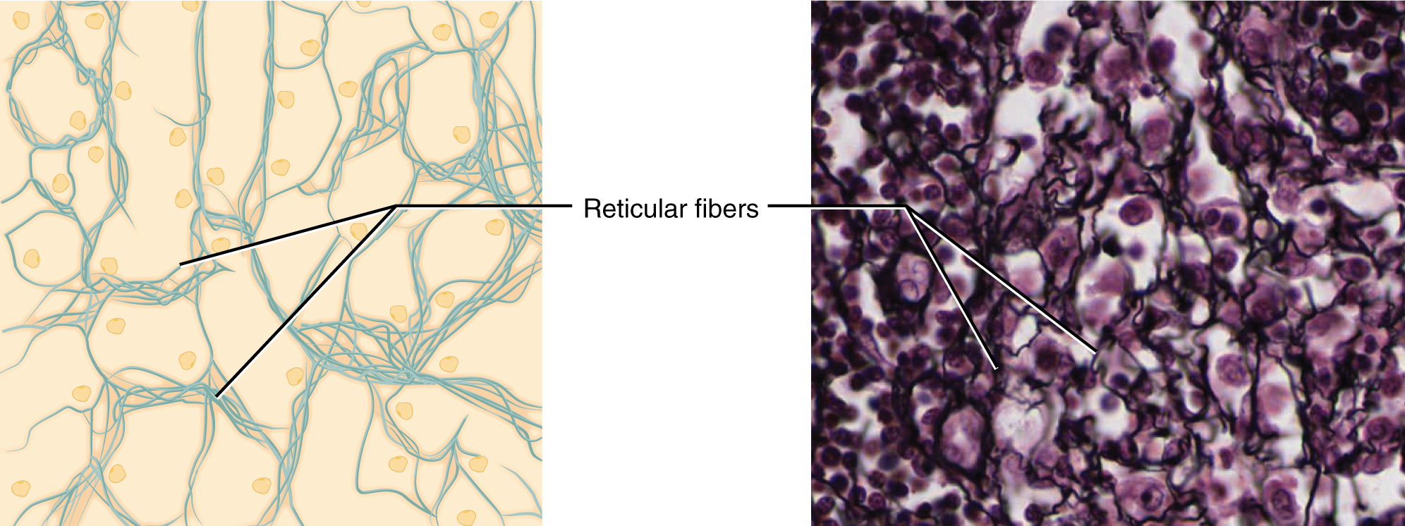 hight resolution of this figure shows reticular tissue alongside a micrograph the diagram shows a series of small