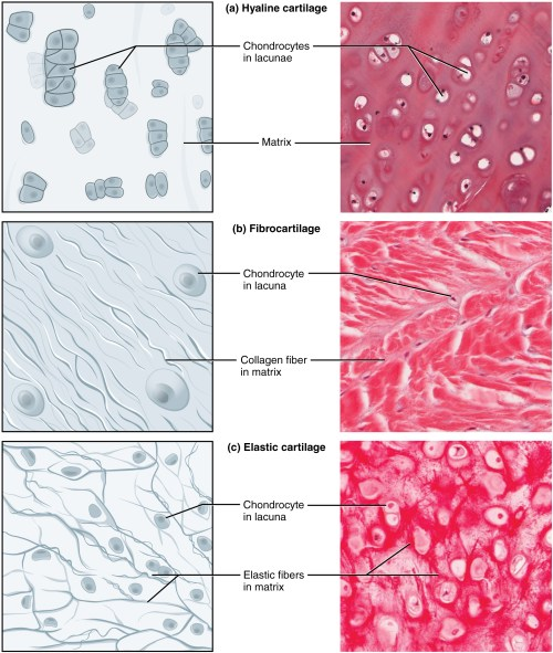 small resolution of part a of this diagram is a drawing and a micrograph of hyaline cartilage the