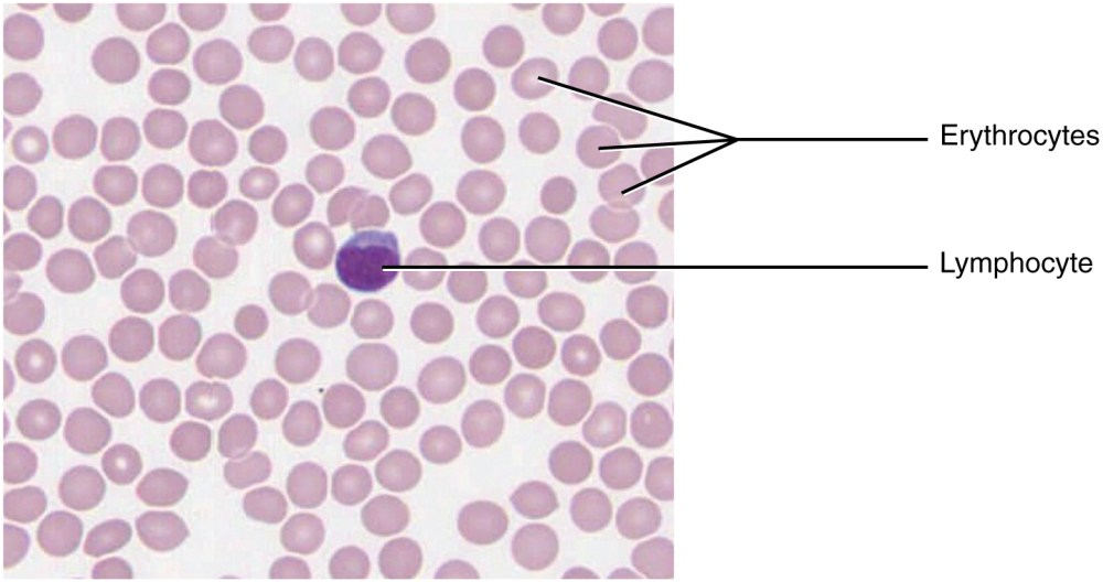 medium resolution of this micrograph of a blood smear shows a group of red blood cells and a single