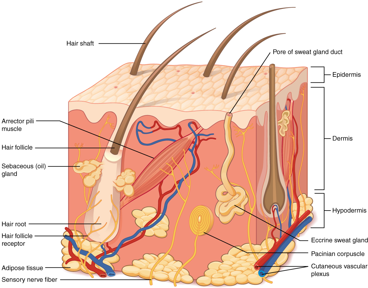 hight resolution of this illustration shows a cross section of skin tissue the outermost layer is called the