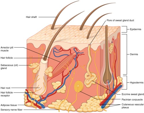small resolution of this illustration shows a cross section of skin tissue the outermost layer is called the