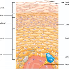 Dermis Layer Diagram Wiring For Light Bar Without Relay 5 1 Layers Of The Skin  Anatomy And Physiology