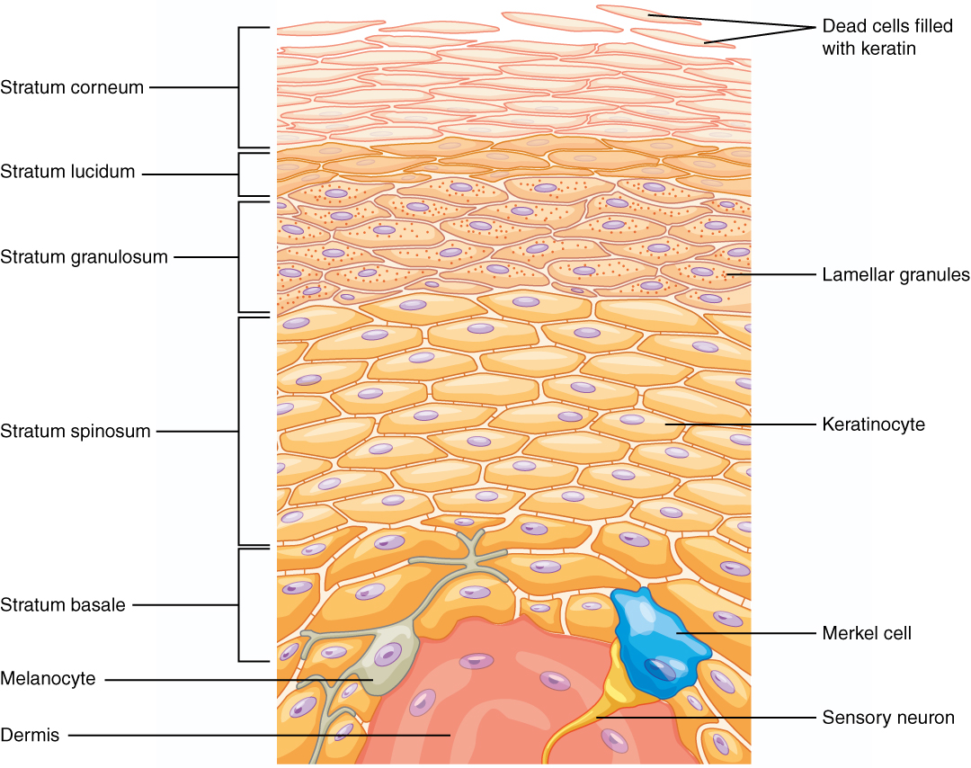 hight resolution of this illustration shows a cross section of the epidermis the cells of the innermost layer