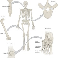Names Of Bones In Human Skeleton Diagram Online Database 6 2 Bone Classification Anatomy And Physiology This Illustration Shows An Anterior View A With Call Outs Five