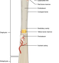gross anatomy of bone [ 684 x 1156 Pixel ]