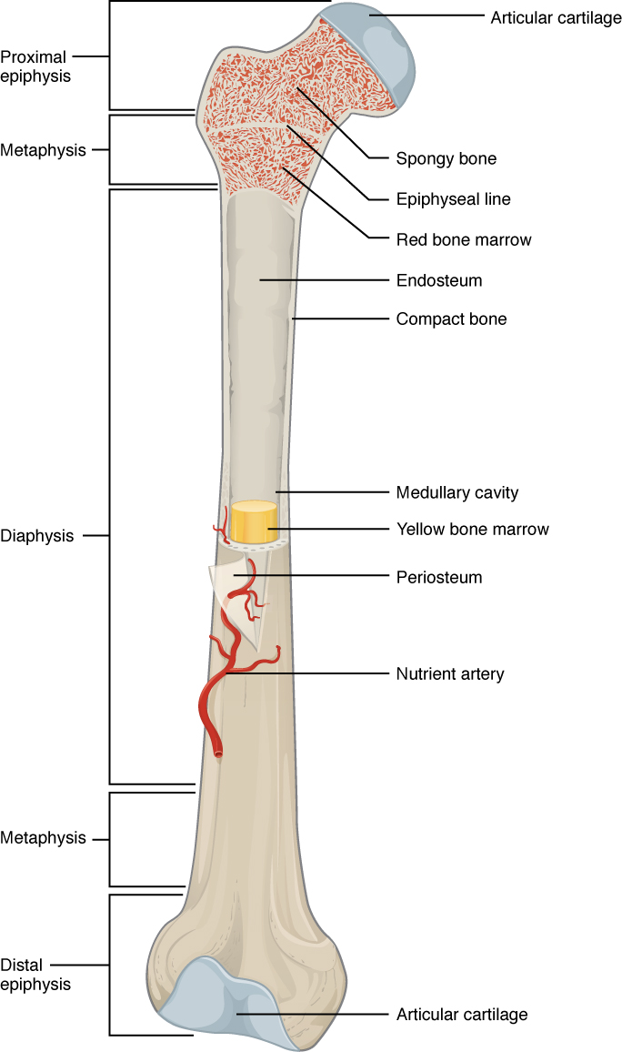 medium resolution of 6 3 bone structure anatomy and physiology diagram of a bone with labels diagram of bone with labels