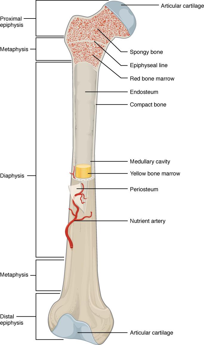 hight resolution of gross anatomy of bone