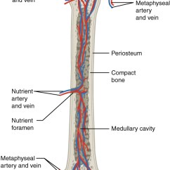 Human Bone Structure Diagram Two Pickups Wiring Half Skeletal Great Installation Of 6 3 Anatomy And Physiology Rh Opentextbc Ca Muscle