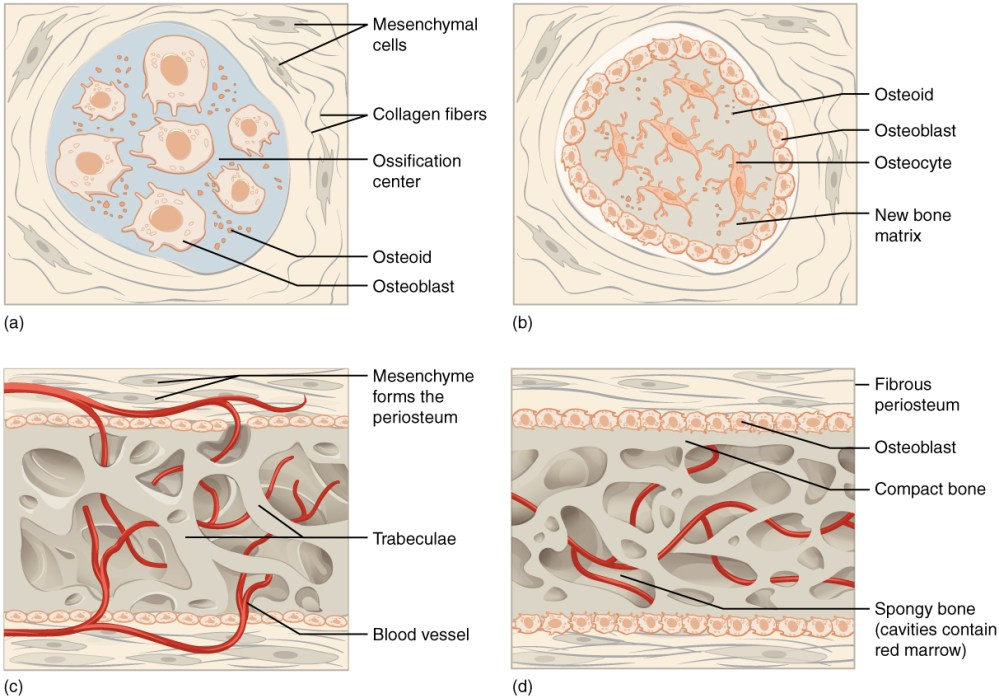 medium resolution of intramembranous ossification