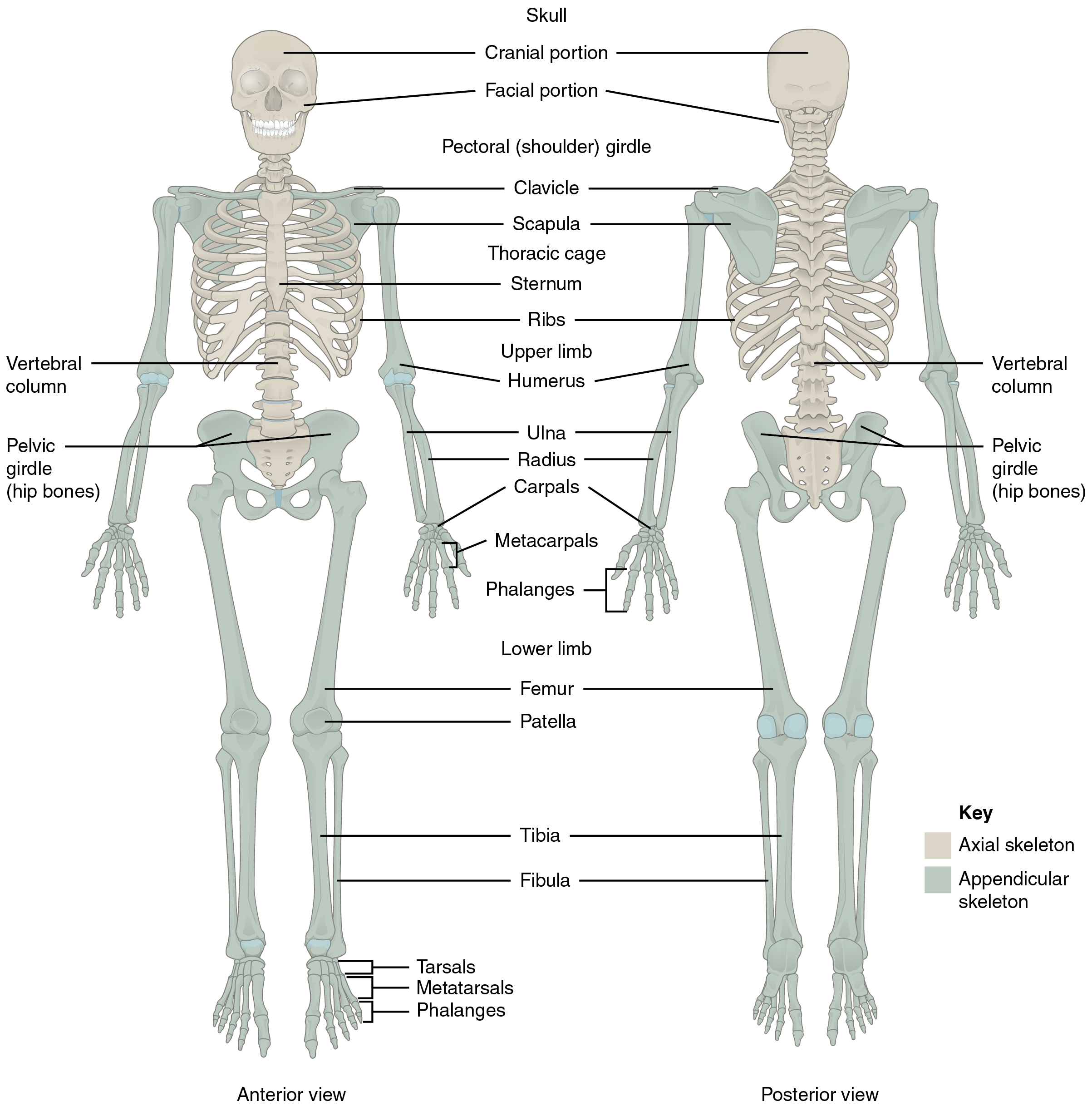 skeletal system anterior view diagram radio wiring 1997 ford explorer 7 1 divisions of the  anatomy and physiology