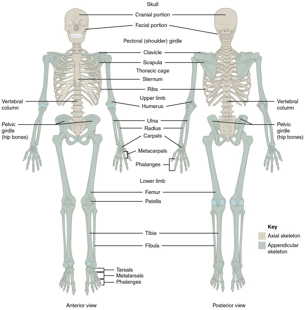 medium resolution of this diagram shows the human skeleton and identifies the major bones the left panel shows
