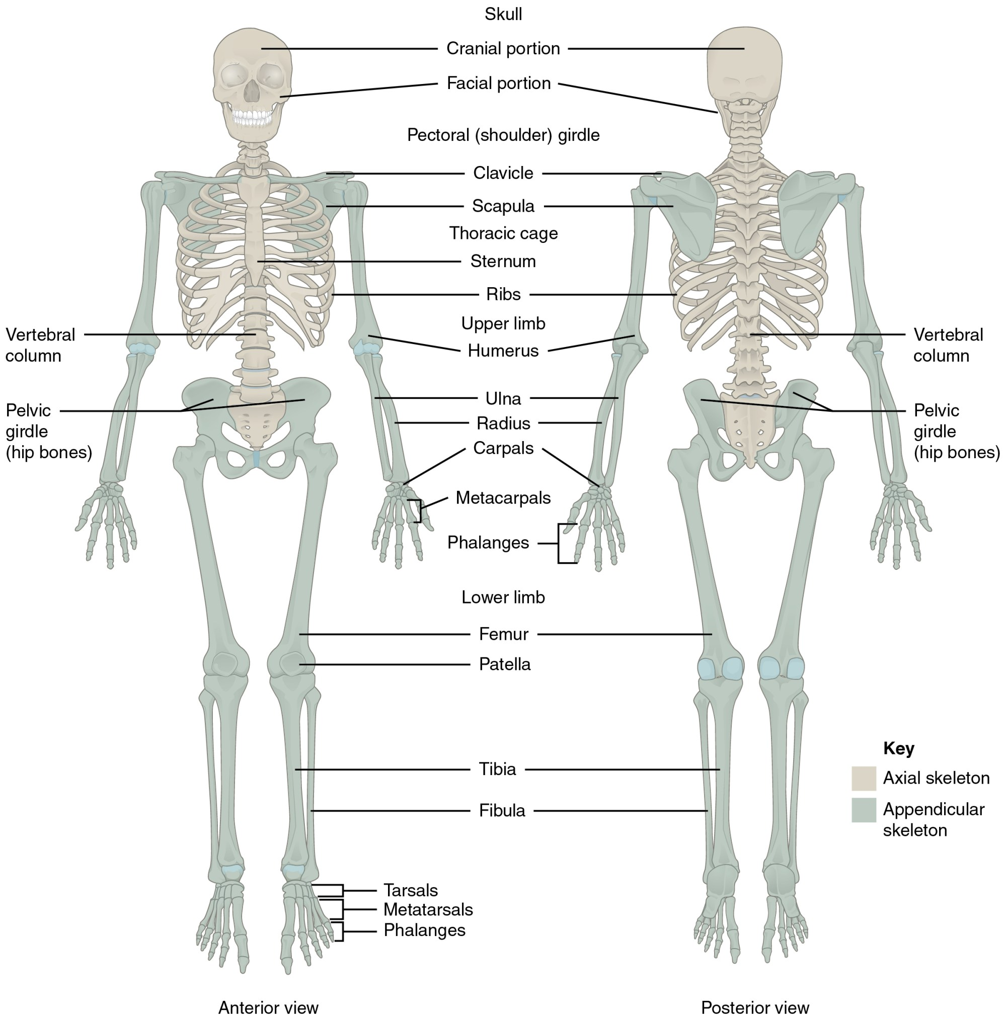 hight resolution of this diagram shows the human skeleton and identifies the major bones the left panel shows
