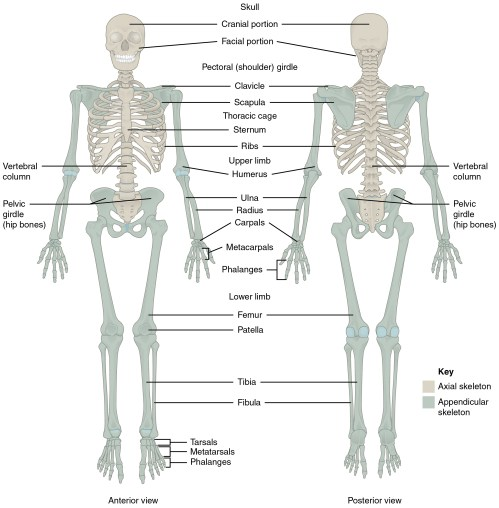 small resolution of this diagram shows the human skeleton and identifies the major bones the left panel shows