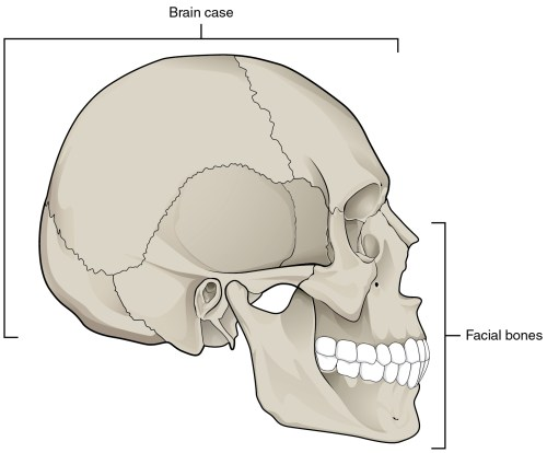 small resolution of in this image the lateral view of the human skull is shown and the brain