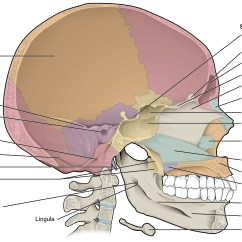 Human Skull Bones Diagram Labeled Uverse Cat5 Wiring 7 2 The Anatomy And Physiology This Shows Sagittal Section Of Identifies Major Cavities