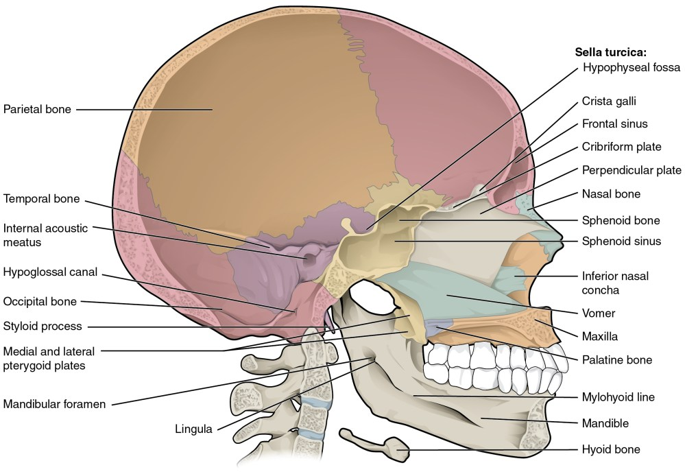 medium resolution of this diagram shows the sagittal section of the skull and identifies the major bones and cavities