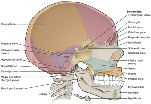 72 The Skull – Anatomy and Physiology