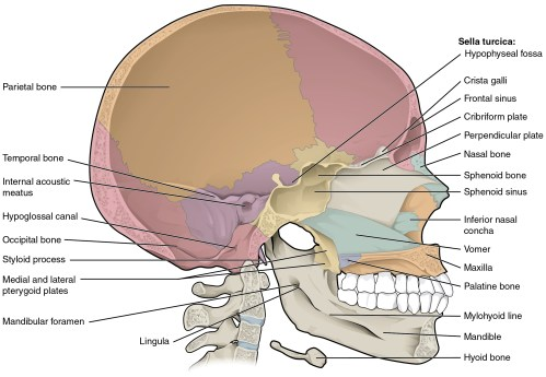 small resolution of this diagram shows the sagittal section of the skull and identifies the major bones and cavities