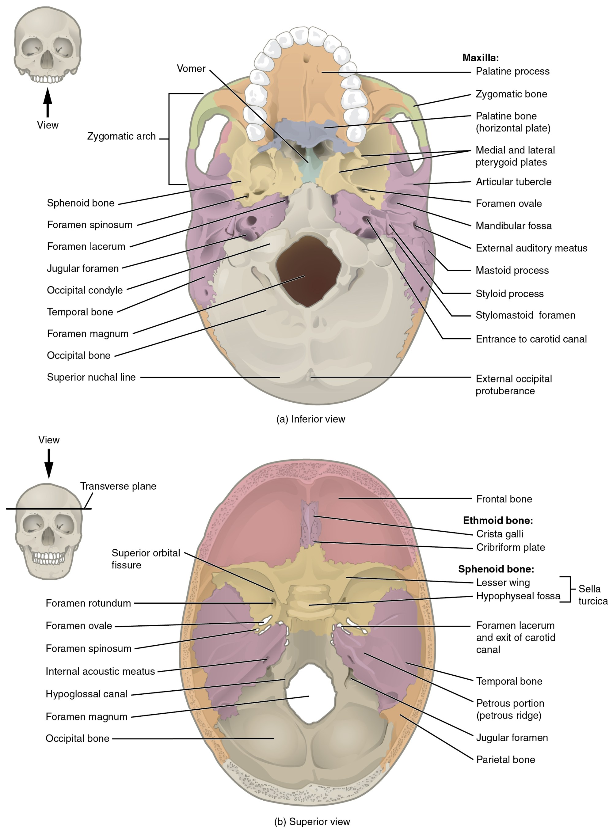 hight resolution of this image shows the superior and inferior view of the skull base in the top