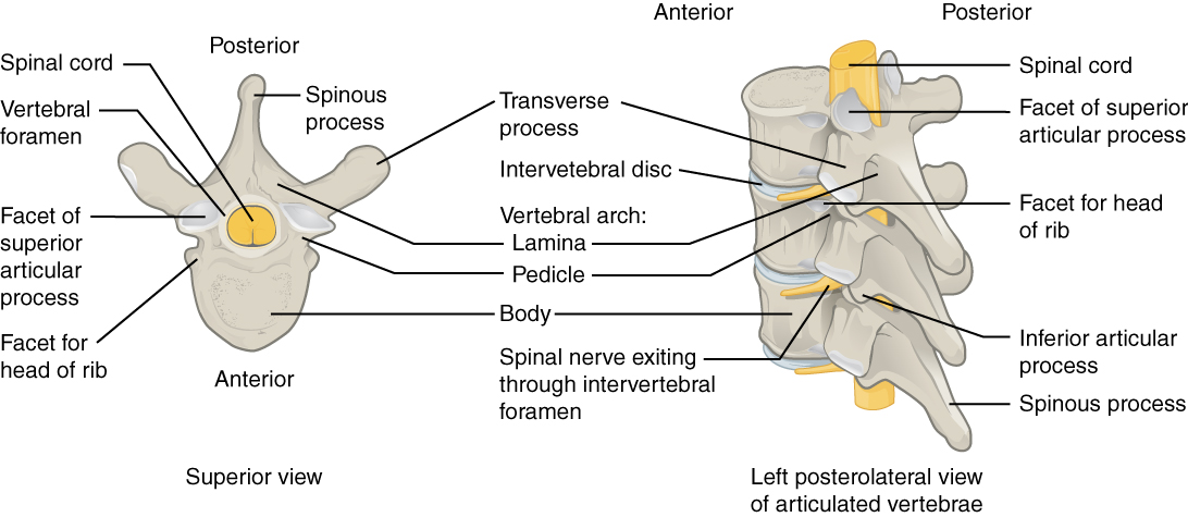 vertebrae diagram blank narva ignition switch wiring 7 3 the vertebral column anatomy and physiology this image shows detailed structure of each vertebra left panel superior