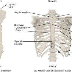 Skeleton Diagram Labeled Direct Tv Wiring Swm 7 4 The Thoracic Cage Anatomy And Physiology This Figure Shows Skeletal Structure Of Rib Left Panel