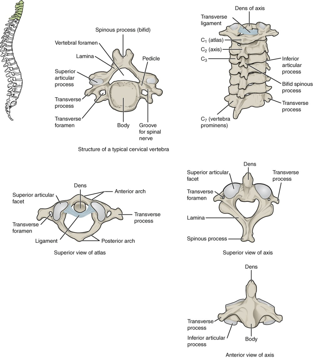 medium resolution of this figure shows the structure of the cervical vertebrae the left panel shows the location