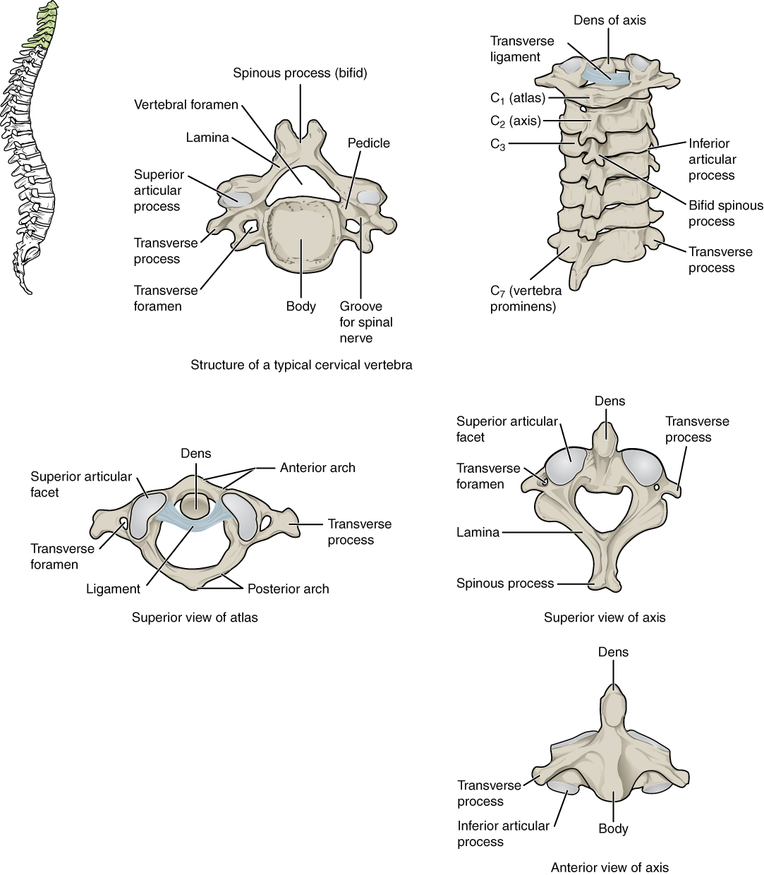 hight resolution of this figure shows the structure of the cervical vertebrae the left panel shows the location