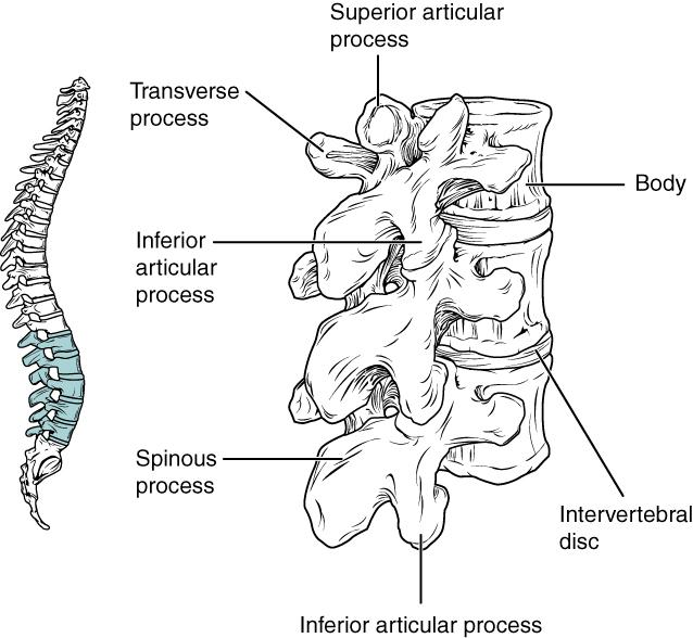 vertebrae diagram blank super switch wiring 7 3 the vertebral column anatomy and physiology lumbar