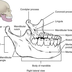 Animal Skull Diagram Light Switch To Wiring 7 2 The Anatomy And Physiology This Image Shows Structure Of Mandible On Top Left A Lateral