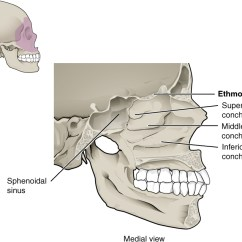 Ethmoid Bone Diagram 13 Pin Towbar Wiring Uk 7 2 The Skull Anatomy And Physiology This Figure Shows Structure Of Nasal Cavity A Lateral View Human