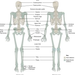 Blank Scapula Diagram 3 Gang Switch Wiring 8 1 The Pectoral Girdle  Anatomy And Physiology