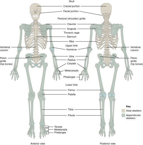 small resolution of this figure shows the human skeleton the left panel shows the anterior view and