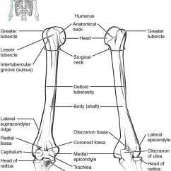Forearm Bones Diagram Worcester System Boiler Wiring 8 2 Of The Upper Limb Anatomy And Physiology This Shows Arm Elbow Joint Left