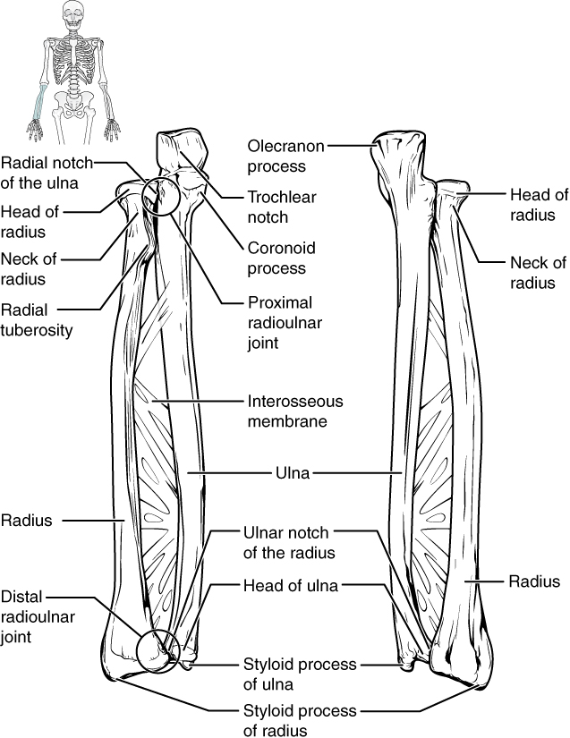 forearm bones diagram simple atp 8 2 of the upper limb anatomy and physiology this figure shows lower arm