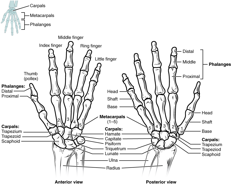 wrist and hand unlabeled diagram visio rack template