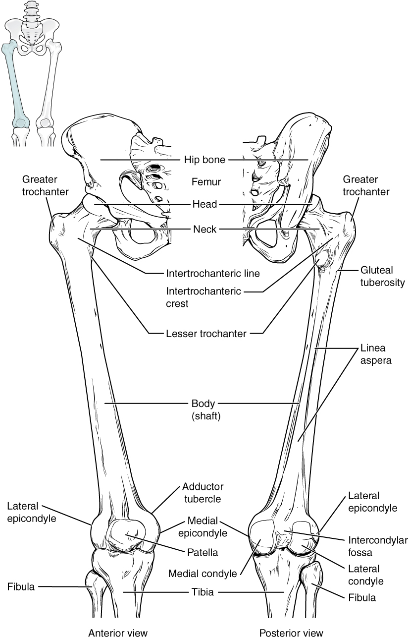 medium resolution of this diagram shows the bones of the femur and the patella the left panel shows