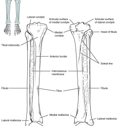 this image shows the structure of the tibia and the fibula the left panel shows figure 3  [ 849 x 1046 Pixel ]