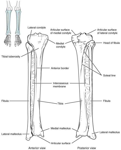 small resolution of this image shows the structure of the tibia and the fibula the left panel shows figure 3