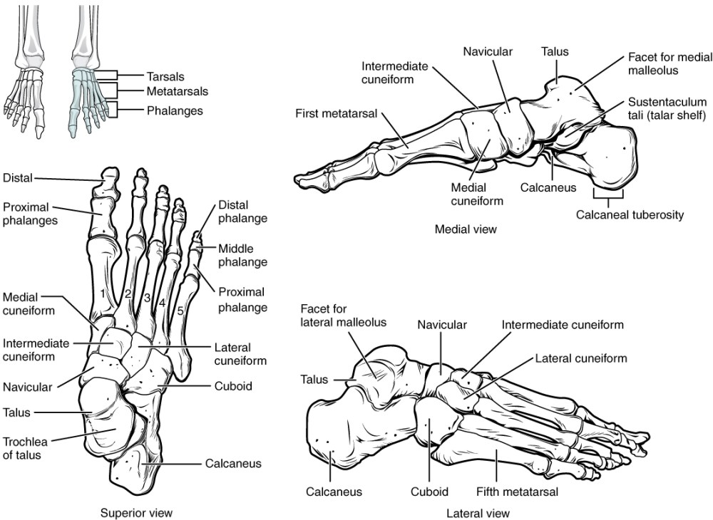 medium resolution of this figure shows the bones of the foot the left panel shows the superior view