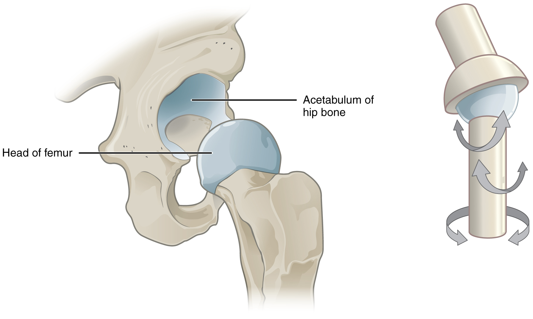 hight resolution of this image shows a multiaxial joint the left panel shows the acetabulum of the hip