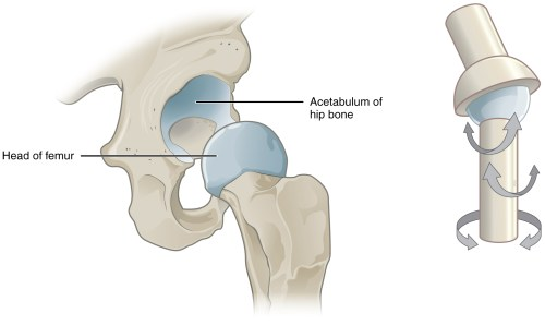 small resolution of this image shows a multiaxial joint the left panel shows the acetabulum of the hip