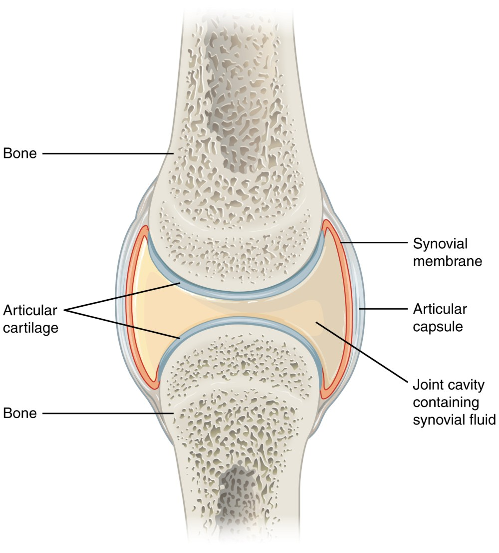 medium resolution of 9 4 synovial joints anatomy and physiology synovial joint blank joint diagram