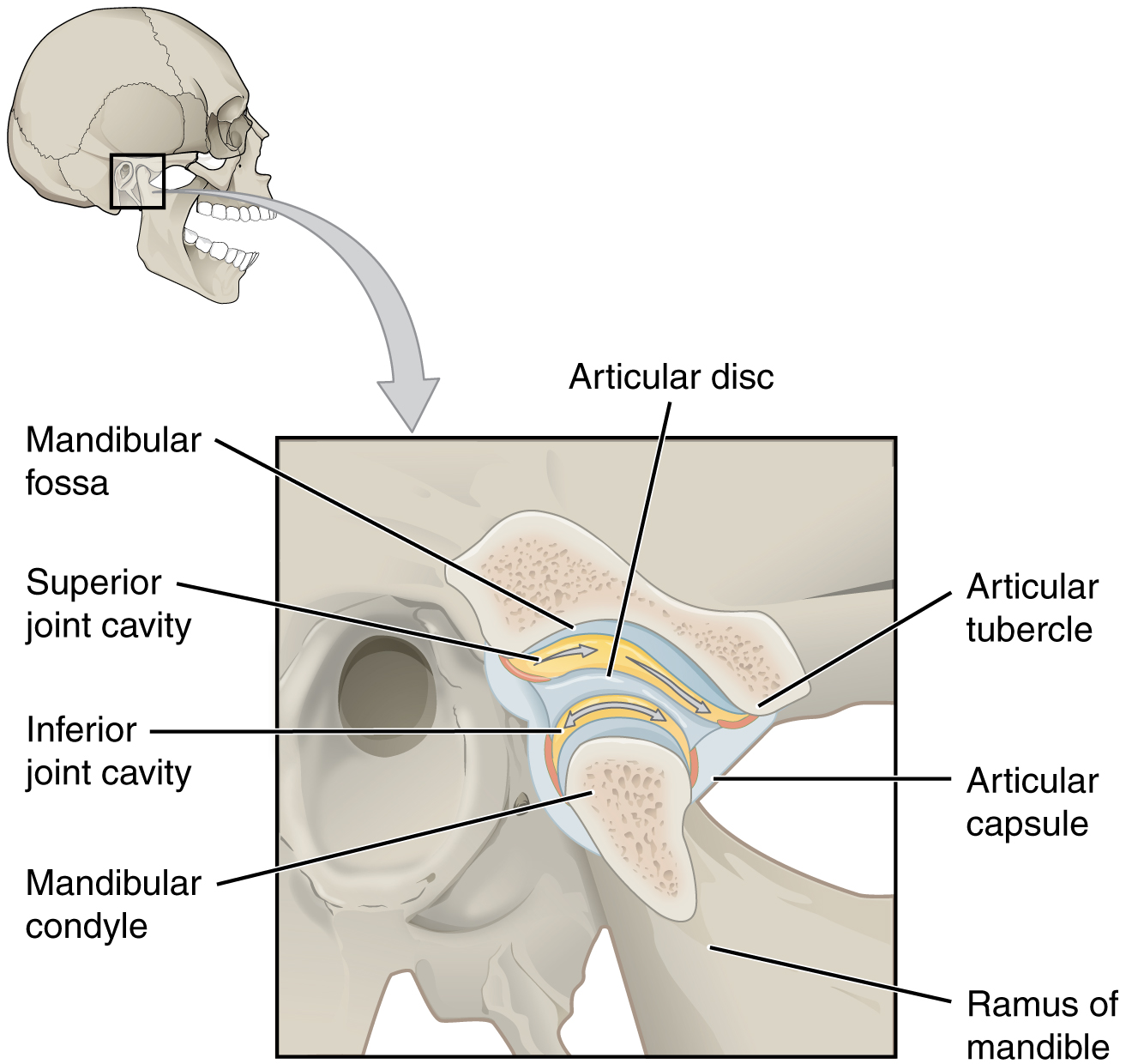hight resolution of this figure shows the location and structure of the temporomandibular joint on the top right