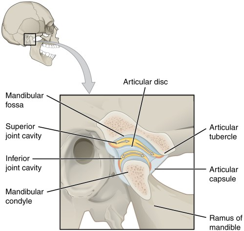 small resolution of this figure shows the location and structure of the temporomandibular joint on the top right